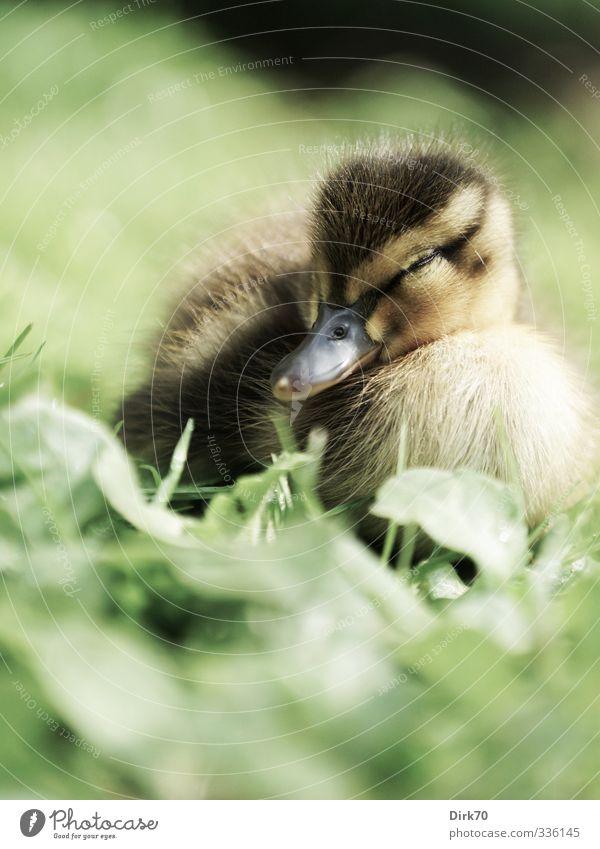 Wer wachsen will muss auch 'mal schlafen grün weiß Erholung ruhig Tier Blatt schwarz Wiese Gras Frühling klein träumen braun liegen Vogel Kindheit