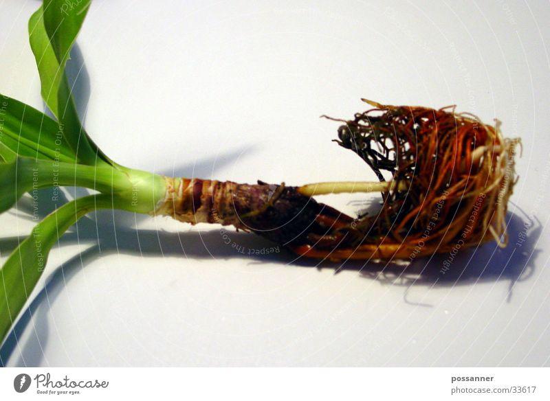 palme Palme Pflanze Reifezeit Wurzel Natur Wachstum Erde