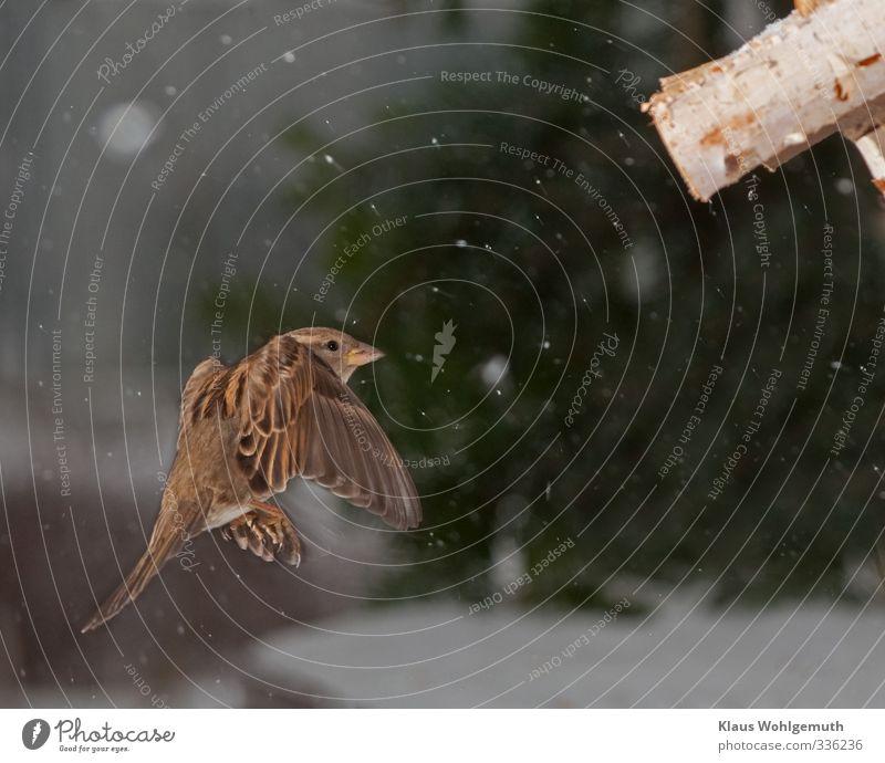 Approach grün weiß Tier Winter Schnee braun Vogel fliegen Wildtier Flügel Krallen Futterhäuschen Haussperling