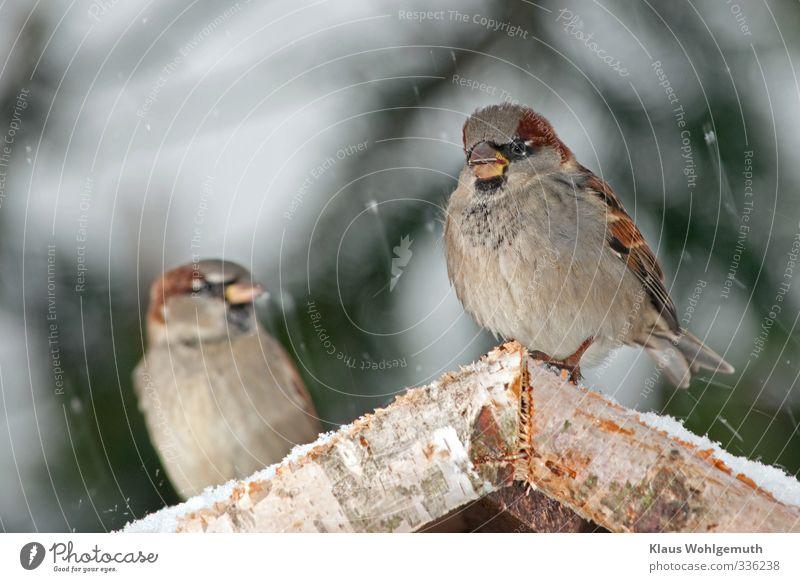 Was gugst du? 1 Umwelt Natur Winter Schnee Schneefall Vogel Tiergesicht Flügel Krallen Spatz Haussperling Passer domesticus Fressen füttern braun grau Farbfoto