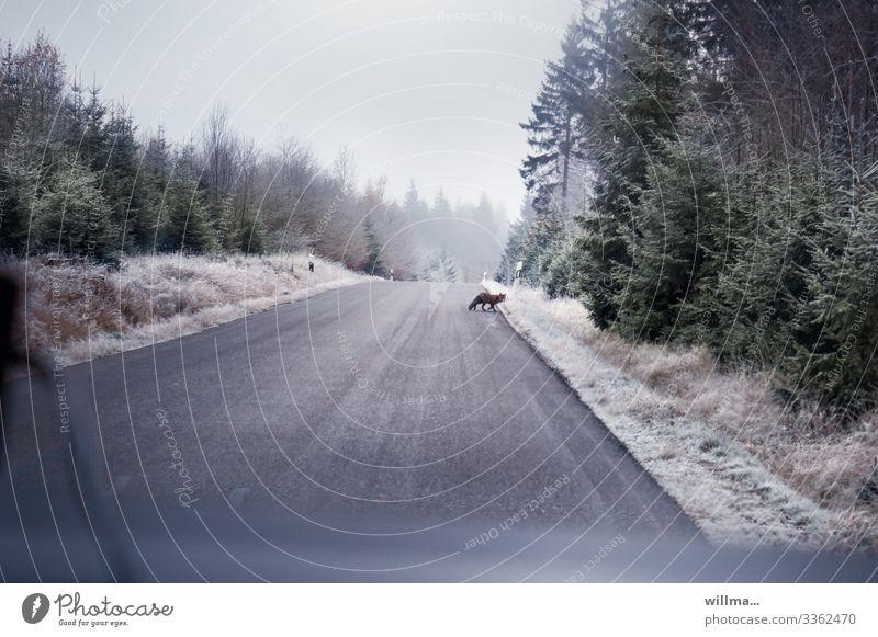 ich hab den alpenfux gesehn! Wald Winter Straße Wildtier rennen Straßenrand Raureif Fuchs Nadelwald Landstraße Überqueren