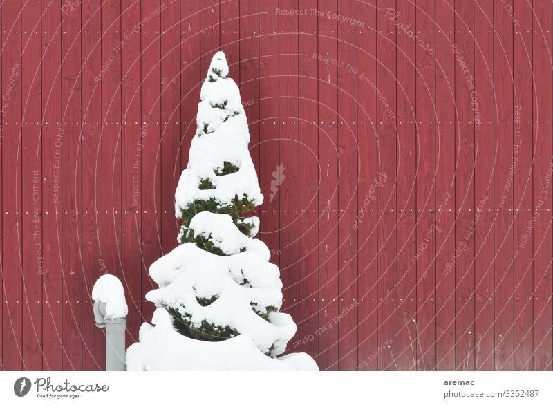 Tanne mit Schnee vor einer roten Wand tanne kiefer nadelbaum schnee wand winter kalt Natur weiß Menschenleer