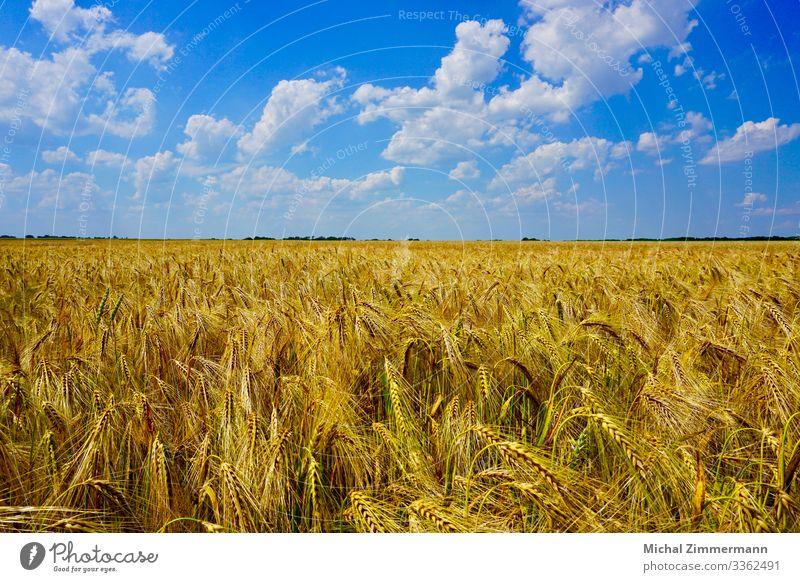 Kornfeld im Sommer mit wolkig blauem Himmel Natur Landschaft Pflanze Tier Wolken Schönes Wetter Nutzpflanze Feld Frühlingsgefühle Farbfoto Außenaufnahme