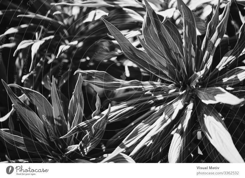 Blätter des Stolzes von Madeira in schwarz-weiß exotisch schön Leben ruhig Garten Umwelt Natur Pflanze Blatt Park Wachstum frisch natürlich Nachmittag