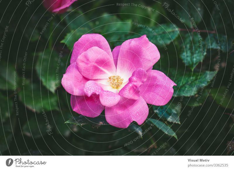 Kleine Rose von Tautropfen bedeckt schön Duft Garten Natur Pflanze Wassertropfen Blume Blüte Park frisch klein natürlich grün rosa Farbe Roséwein Rosenblätter