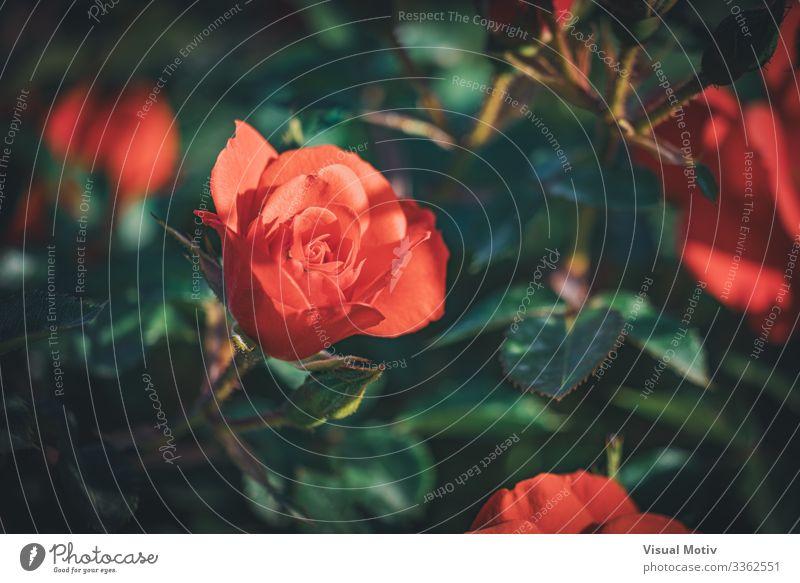 Junge Chewhighway-Rose in einem Garten schön Duft Natur Pflanze Blume Blüte Park frisch natürlich grün rot Farbe Roséwein Rosenblätter botanisch Botanik geblümt