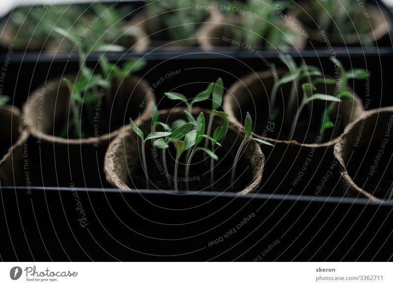 Frühe Tomatensämlinge, die aus Samen zu Hause auf der Fensterbank gezogen werden. Torftöpfe für Sämlinge landwirtschaftlicher Nutzpflanzen. Konzept: Vorbereitung auf die Sommersaison, ein nützliches Hobby für ältere Menschen