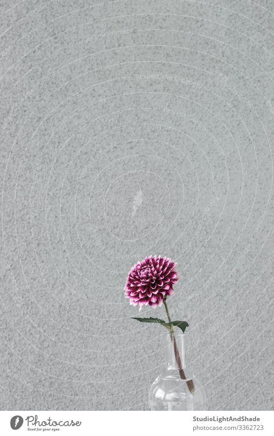 Violette Dahlienblume in einer Glasvase Design schön Garten Gartenarbeit Natur Pflanze Blume Blüte Blühend einfach grau rot Farbe purpur Vase Single urban