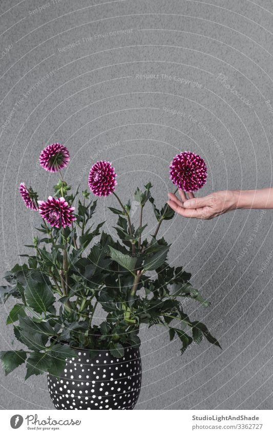 Blühende Dahlienblüten mit der Hand berühren Topf schön Garten Gartenarbeit Frau Erwachsene Natur Pflanze Blume Blüte Wachstum grau grün rot schwarz Farbe