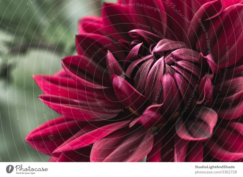 Blühende dunkelrote Dahlie schön Sommer Garten Gartenarbeit Natur Pflanze Blume Blüte frisch natürlich Farbe Dahlien weinrot kirschrot Blütenblatt