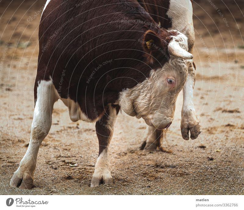 Stier auf 3 Beinen Stierkampf bein Huf Sand Wende abgebremst menschenleer nutztier Tier Außenaufnahme