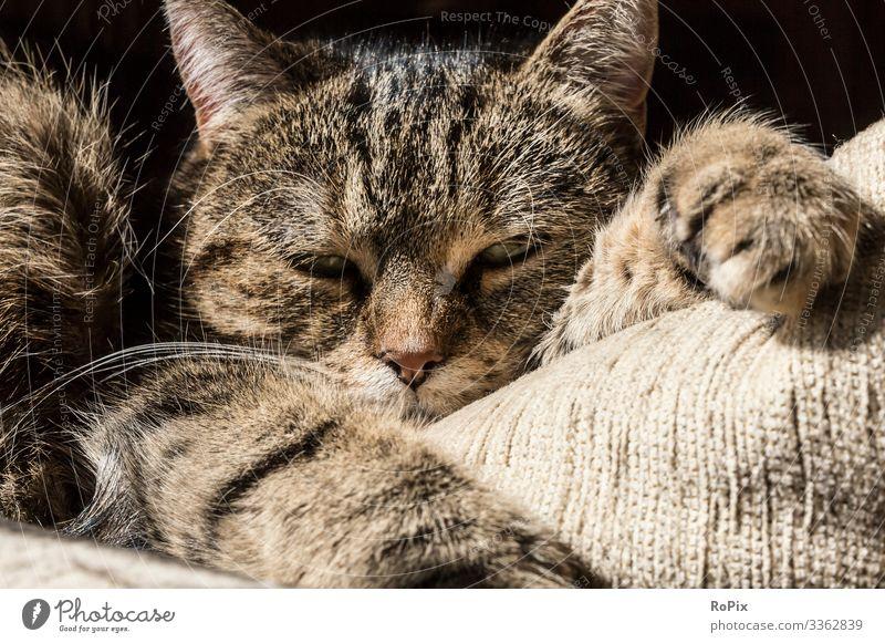 schlafende Katze Lifestyle Stil Design Freizeit & Hobby Umwelt Natur Tier Haustier 1 ästhetisch gemütlich Erholung Tiger ruhen aussruhen Liege Pelzmantel Wisker
