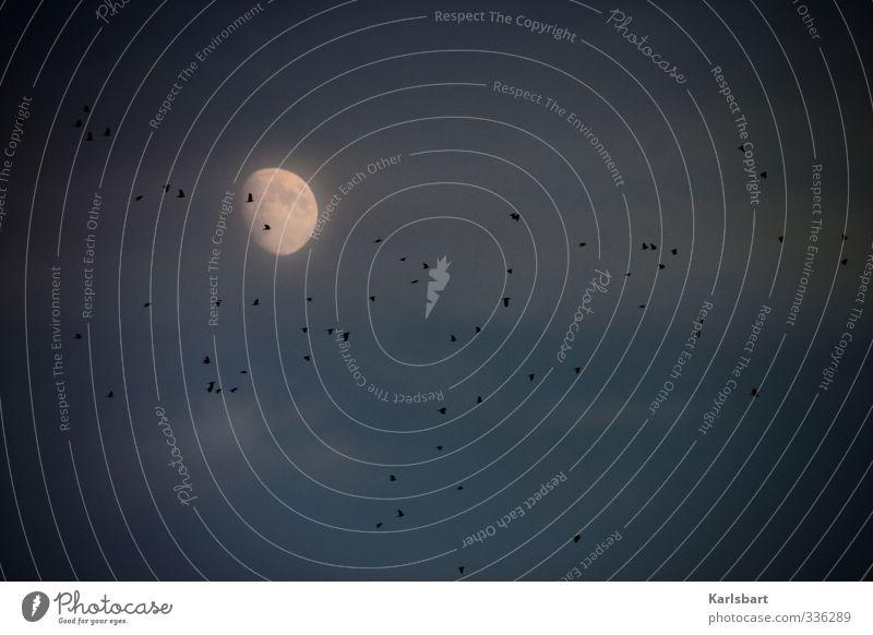 Nightflight. Natur Himmel Wolken Nachthimmel Mond Vogel Krähe Rabenvögel Tiergruppe Herde Schwarm Tierfamilie dunkel Bewegung geheimnisvoll Stimmung mystisch