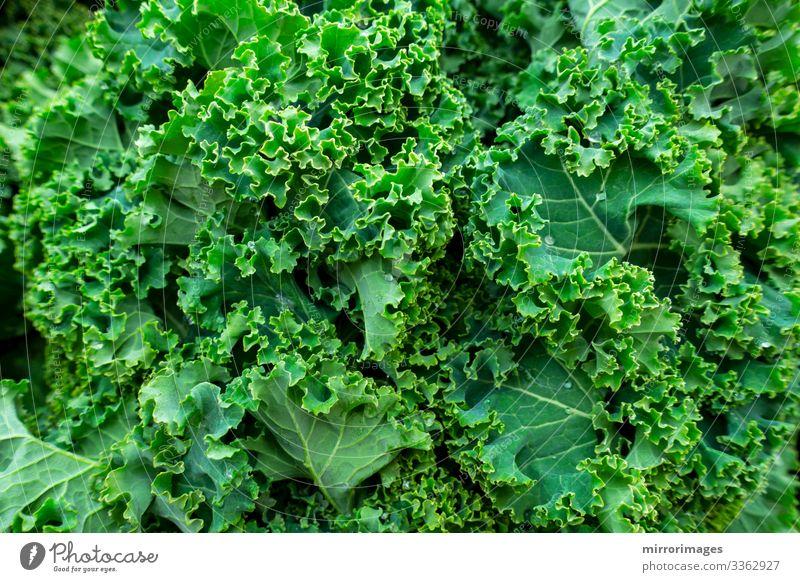 Nahaufnahme eines Straußes frischer, gesunder Grünkohl-Blätter Lebensmittel Gemüse Mittagessen Abendessen Lifestyle schön Gesundheit Gesunde Ernährung Fitness