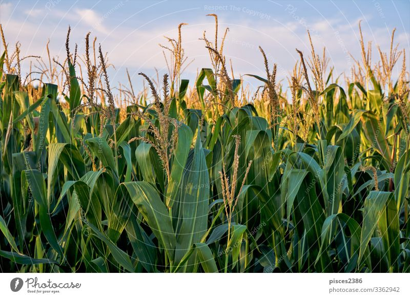 Corn field in front of blue sky and clouds Sommer Natur springen gelb agricultural agriculture autumn Hintergrundbild beauty bread bright cereal close color