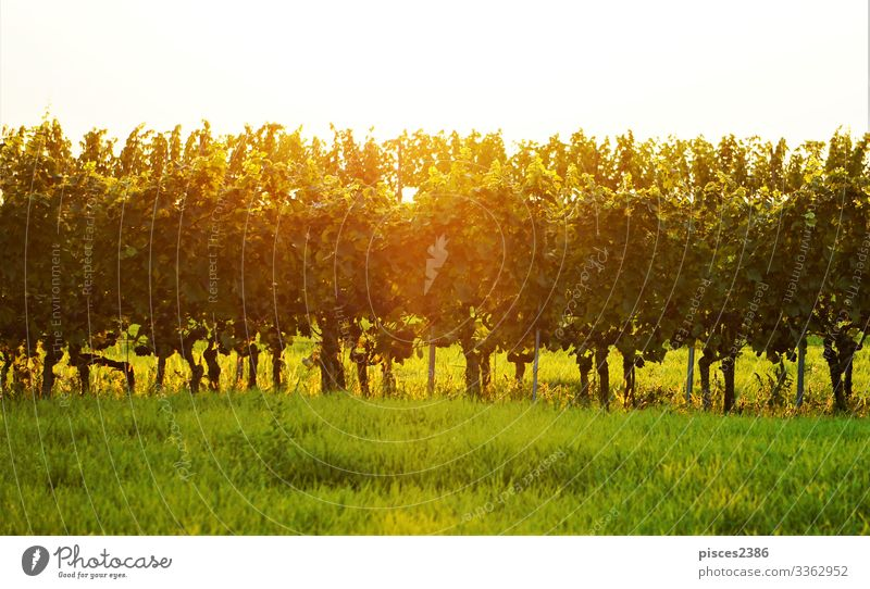 Vineyard in the golden sun Ferien & Urlaub & Reisen Sommer Natur springen agriculture autumn country countryside Europa farm farming field food fresh fruit