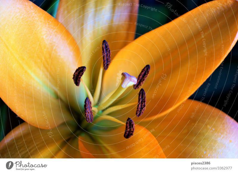 Close up of orange lily blossom elegant Sommer Natur Pflanze Blumenstrauß Liebe schön flower Hintergrundbild planen petal Pollen beauty color botany freshness