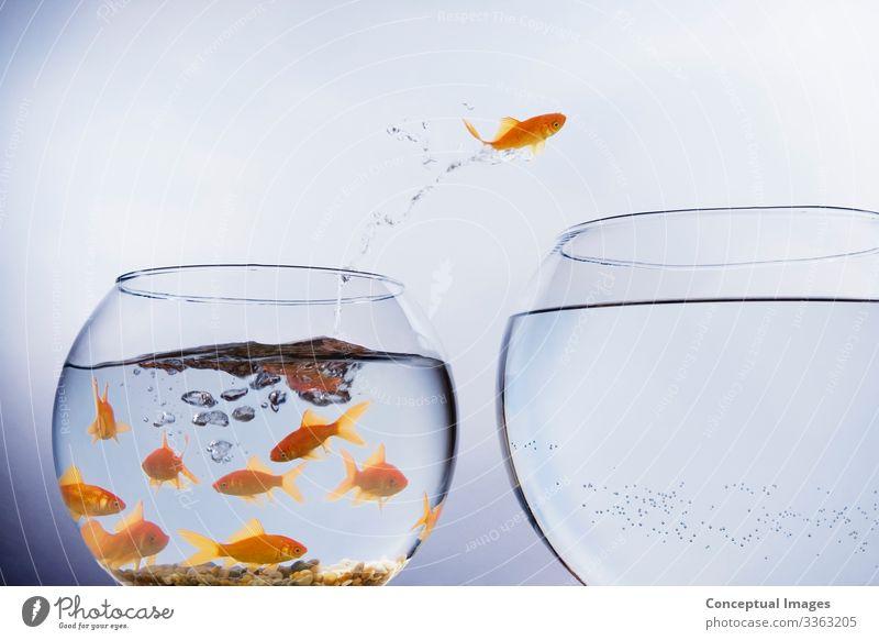 Goldfische springen aus überfüllten Becken Freiheit Umzug (Wohnungswechsel) Tier Haustier einzigartig Beginn Idee Tiermotive Ankunft Wandel & Veränderung