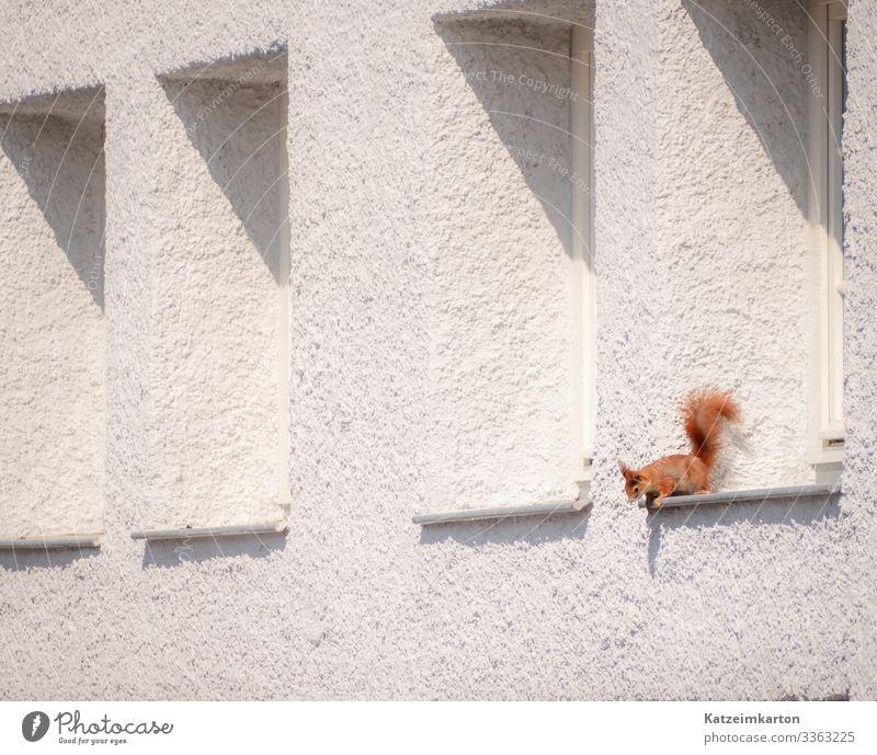 Eichhörnchen im Fenster Deutschland Europa Stadt Haus Mauer Wand Fassade Tier Wildtier Tiergesicht Fell Krallen 1 beobachten Blick sitzen klein Evolution rot