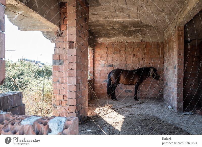 Ein verwahrlostes Pferd in einer Ruine guckt apathisch an die Wand pferd angebunden tierhaltung ruine verlassen ausgebeutet horse natur ausgenutzt bauernhof