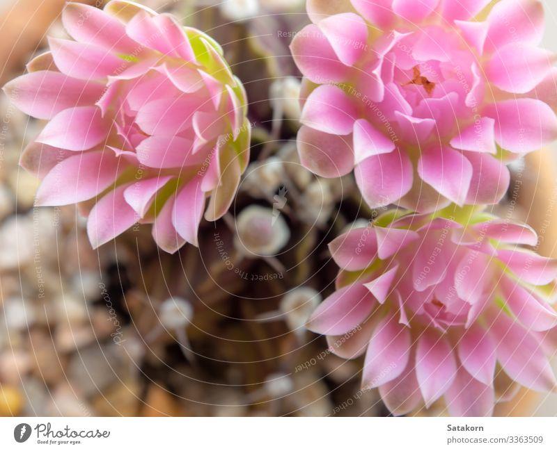 Rosa zarte Blütenblätter der Gymnocalycium-Kaktusblüte Garten Dekoration & Verzierung Natur Blume frisch natürlich rosa Farbe rosa Blumen Sukkulenten Kakteen