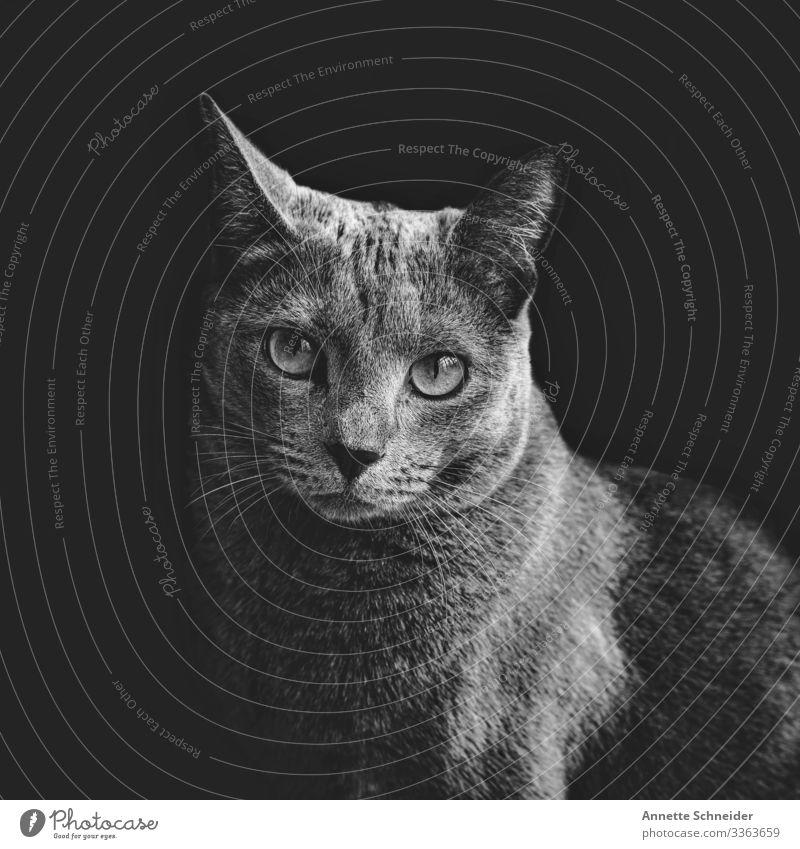 Katze Russisch blau elegant Tier Haustier 1 Armut ästhetisch Zufriedenheit Schwarzweißfoto Innenaufnahme Hintergrund neutral Tierporträt Blick in die Kamera