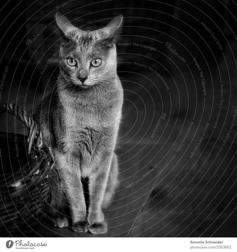 Katze Russisch blau Tier Haustier 1 Lebensfreude Mut Schwarzweißfoto Innenaufnahme Hintergrund neutral Tierporträt Blick nach vorn