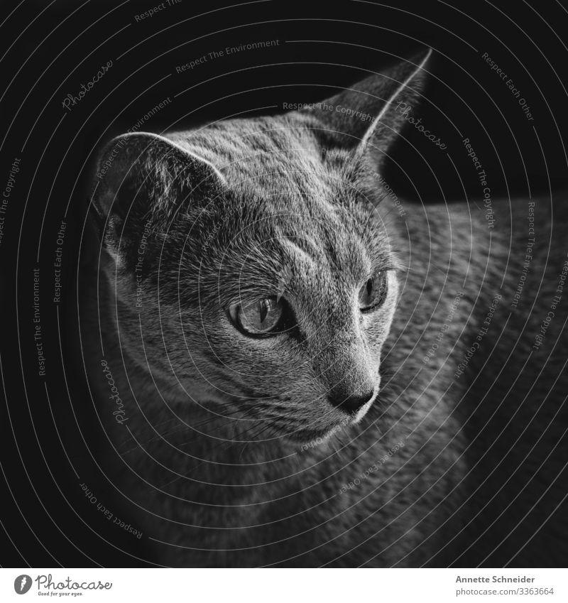 Russisch blau Kater Tier Haustier Katze 1 grau grün Farbfoto Tierporträt Blick in die Kamera