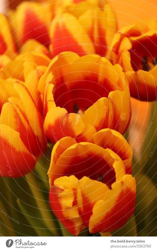 Tulpen gelb-rot Pflanze Frühling Schönes Wetter Blume Blüte Freundlichkeit Fröhlichkeit frisch schön natürlich positiv grün Lebensfreude Frühlingsgefühle