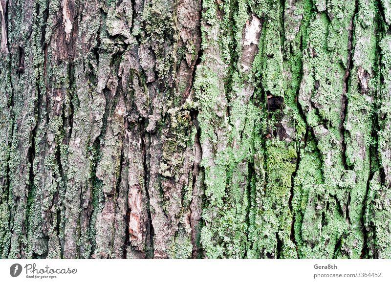 Holzuntergrund Ahornbaumstamm mit grünem Moos Natur Pflanze Herbst Klima Baum Park Wald natürlich braun grau Hintergrund Rinde blanko detailliert