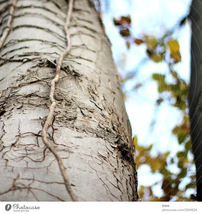 nichtsnutziger Nutznießer baum holz äste zweige natur kommunikation baumstamm alt netzwerk verflechtung struktur urwüchsig hoch herbst blätter blatt vegetation