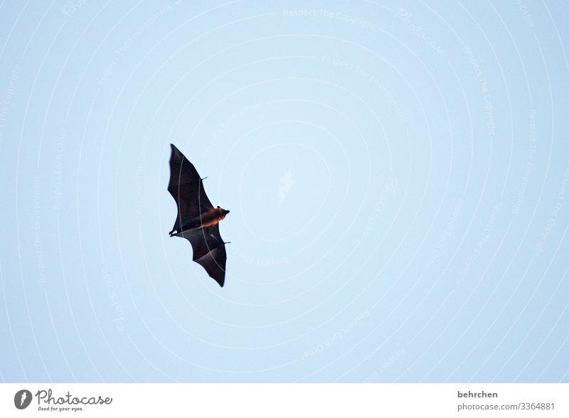 abgehoben | in eine vampirige nacht Ferien & Urlaub & Reisen Tourismus Ausflug Abenteuer Ferne Freiheit Natur Himmel Tier Wildtier Tiergesicht Flügel Fell