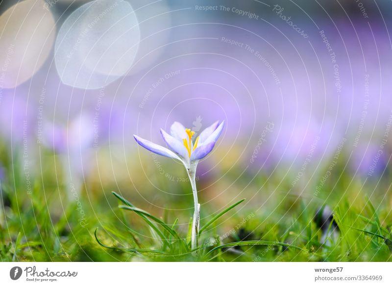 Krokus im Gegenlicht Pflanze Frühling Schönes Wetter Wildpflanze Krokusse Garten Park Wiese grün violett Frühlingsgefühle mehrfarbig Frühlingskrokus