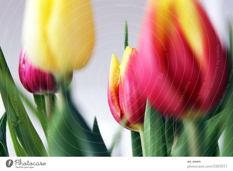 Bunte Tulpen Lifestyle harmonisch Muttertag Ostern Umwelt Natur Frühling Pflanze Blume Blatt Blüte Blumenstrauß Blühend leuchten Fröhlichkeit modern positiv