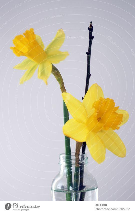 Osterglocken Dekoration & Verzierung Muttertag Ostern Frühling Pflanze Blume Blüte Narzissen Gelbe Narzisse Zweig Blumenstrauß Glas Wasser Blühend leuchten