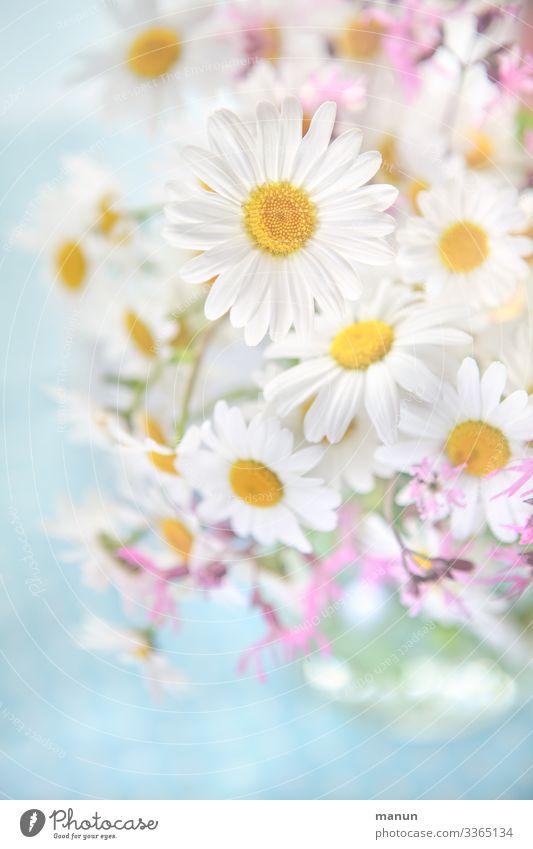 Margeritenstrauß Blumenstrauß margeriten Margeritengewächs Frühlingsblume Sommerblumen Blüte rosa Blühend Nahaufnahme frisch weiß hell Blütenblatt schön