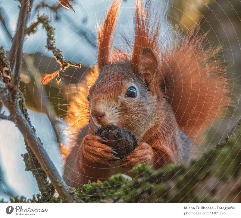Eichhörnchen mit Nuss in den Pfoten Natur Tier Himmel Sonne Sonnenlicht Schönes Wetter Baum Zweige u. Äste Wildtier Tiergesicht Fell Krallen Kopf Ohr Auge Nase