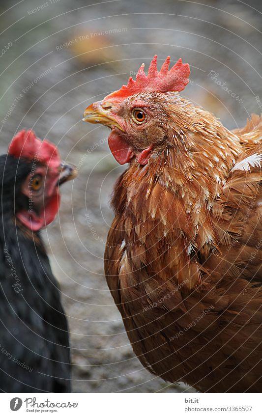 Zwei glückliche Hühner mit braunem und schwarzem Gefieder mit geringer Tiefenschärfe, in Freilandhaltung, stehen sich gegenüber und schauen sich im Stall um.