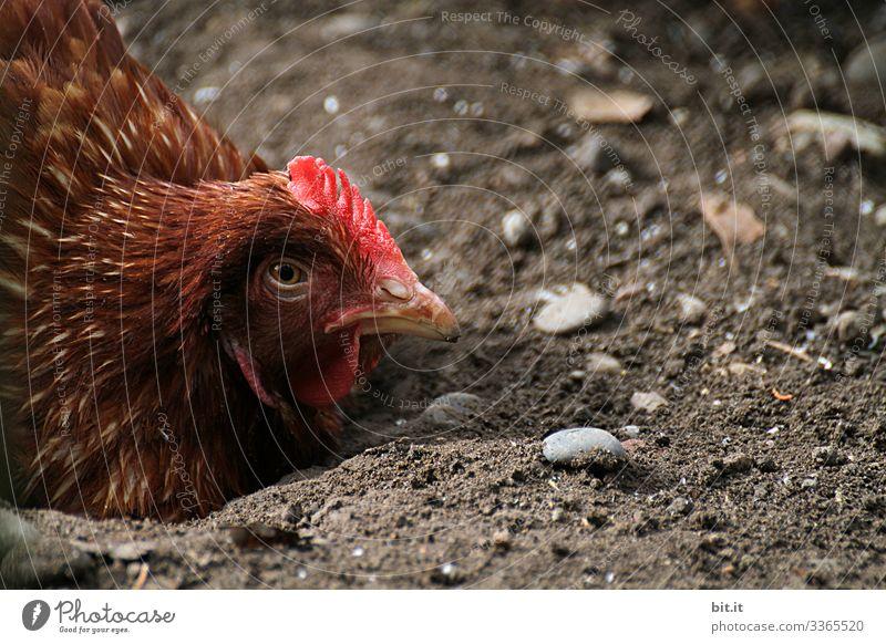 Müdes, braunes Huhn in Bodenhaltung, liegt am Boden in der Erde und schaut in die Natur, mit halb geschlossenen Augen und traurigem Blick. Lebensmittel