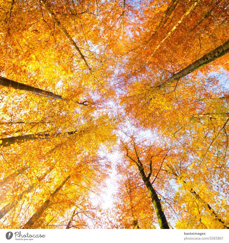 Bäume im Herbst. schön Sonne Dekoration & Verzierung Umwelt Natur Landschaft Pflanze Himmel Baum Blatt Park Wald hell natürlich blau gelb gold rot Farbe fallen