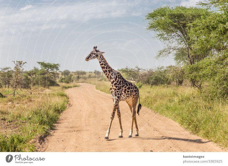Einzelgänger-Giraffe im Amboseli-Nationalpark, Kenia. schön Ferien & Urlaub & Reisen Tourismus Safari Kultur Natur Landschaft Tier Gras Park stehen hell lang