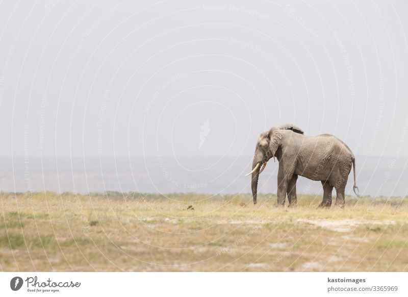 Herde von wilden Elefanten im Amboseli-Nationalpark, Kenia. Safari Sommer Mutter Erwachsene Menschengruppe Umwelt Natur Landschaft Tier Park groß hoch Kraft