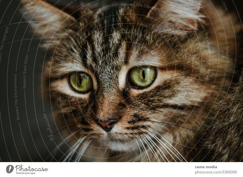 merveille Tier Haustier Nutztier Katze Krallen Pfote 1 dunkel braun grün Farbfoto Nahaufnahme Zentralperspektive Porträt Tierporträt Vorderansicht