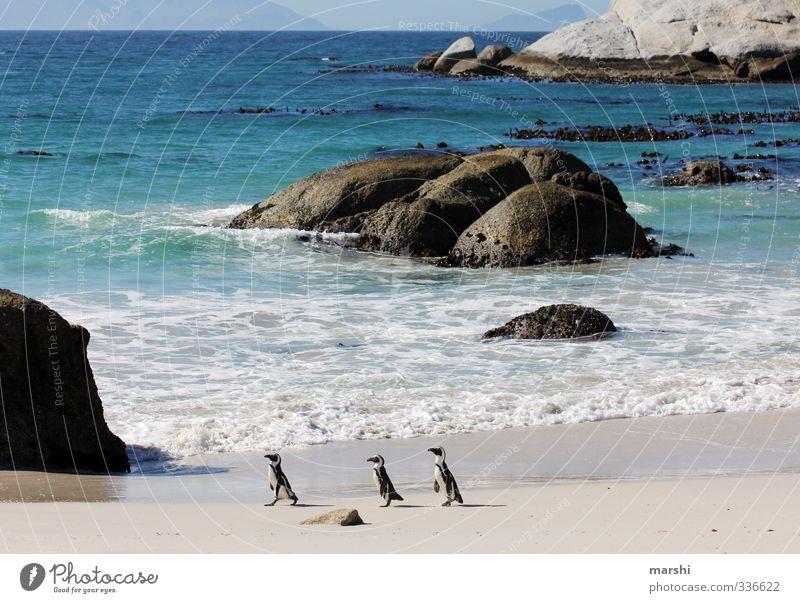 Familienausflug an den Strand Natur Landschaft Pflanze Tier Sonne Sommer Herbst Wetter Schönes Wetter Wellen Küste Meer 3 Tiergruppe gehen Pinguin