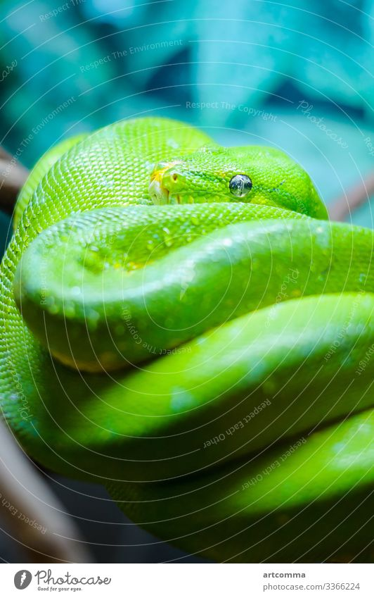 Grüner Baumpython auf einem Ast, Terrarium Tier Windstille Smaragd exotisch Auge Fauna Wald grün Kopf Natur Python erreichend Reptil Skala Schlange tropisch