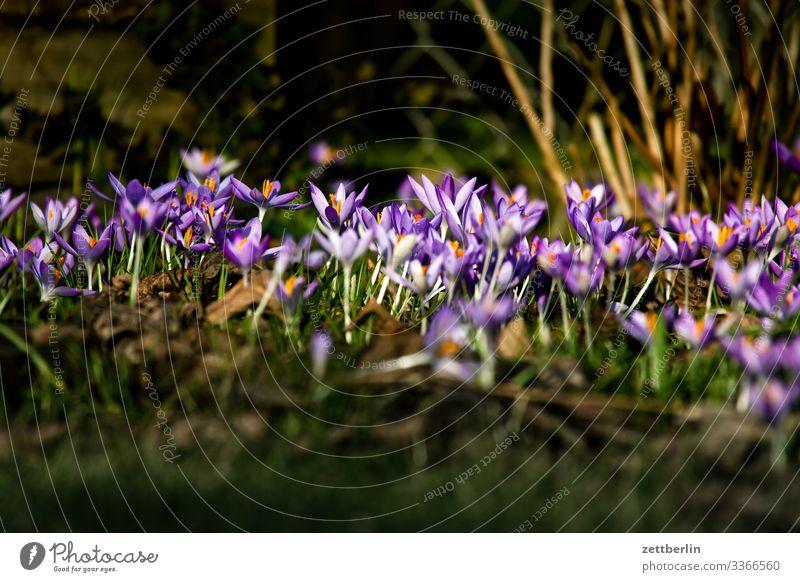 Krokusse Blume Blühend Blüte Garten Gras Schrebergarten Menschenleer Natur Pflanze Rasen ruhig Textfreiraum Tiefenschärfe Wiese Frühblüher Kleingartenkolonie