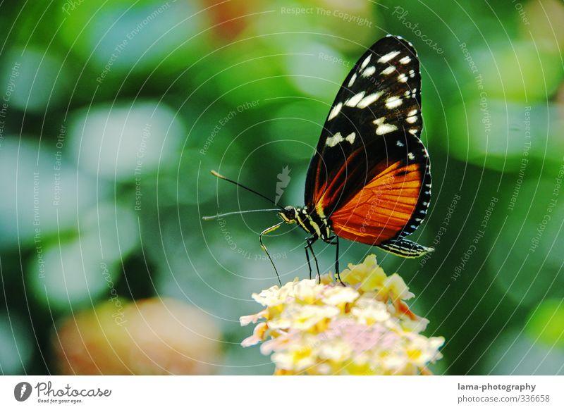 Naschzeit Sommer Blume Blüte Schmetterling Tiger-Passionsfalter Heliconius ismenius 1 Tier Essen fliegen Nektar Nahrungssuche filigran Farbfoto Außenaufnahme