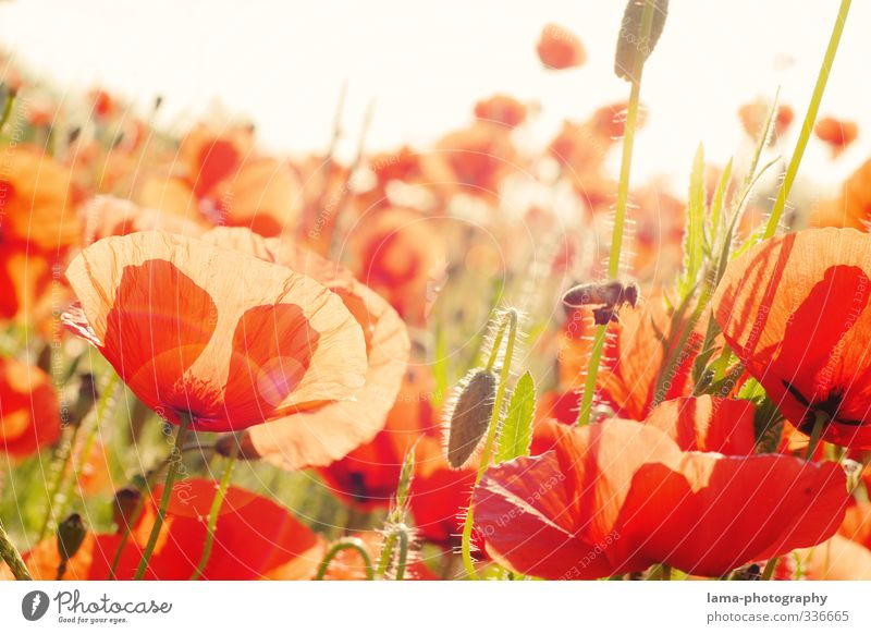 Summ...summ...Sommerwiese Sonnenlicht Frühling Schönes Wetter Blüte Mohn Mohnblüte Mohnfeld Klatschmohn Wiese Blumenwiese Biene Wärme rot Farbfoto Außenaufnahme