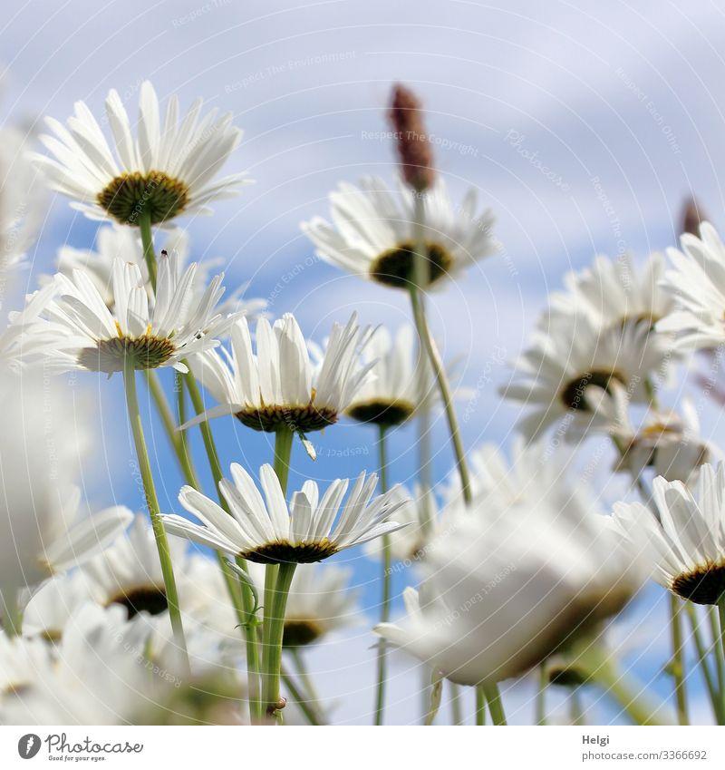 Margariten blühen auf einer Blumenwiese Natur Umwelt Blüte Sommer blühend weiß grün blau Nahaufnahme Froschperspektive Blütenblatt Stengel Himmel Wachstum