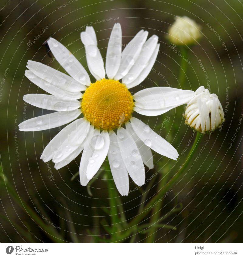 Margarite mit Regentropfen auf einer Blumenwiese Natur Umwelt Blüte Knospe Stengel Blütenblätter Makroaufnahme blühen weiß gelb grün Vogelperspektive Sommer